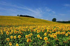 sunflowers-in-tuscany-italy_37564_600x450